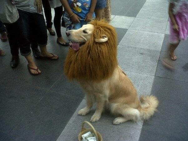 cute lion dog!