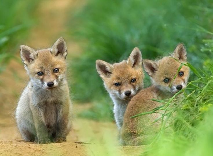 Cute little fox cubsCute Fox Cubs