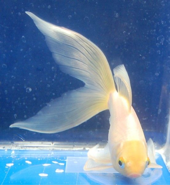 Goldfish another beautiful tail freshwater for Koi fish tail
