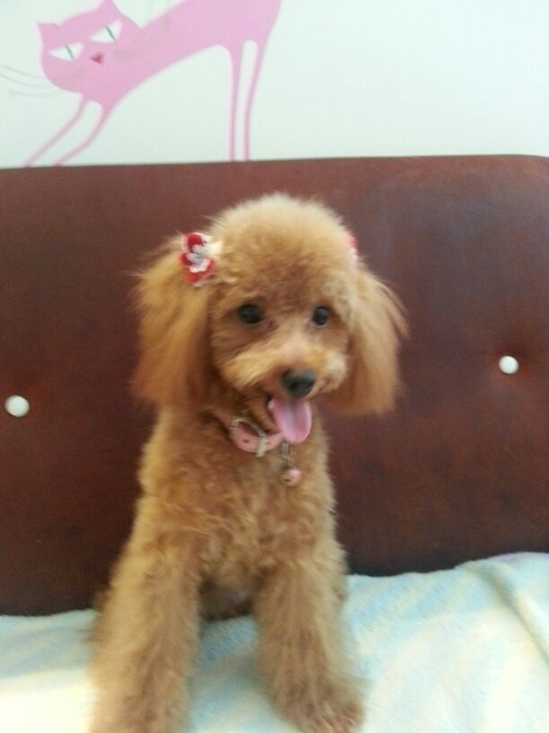My name is Fluffy | Toy Poodle | Pinterest