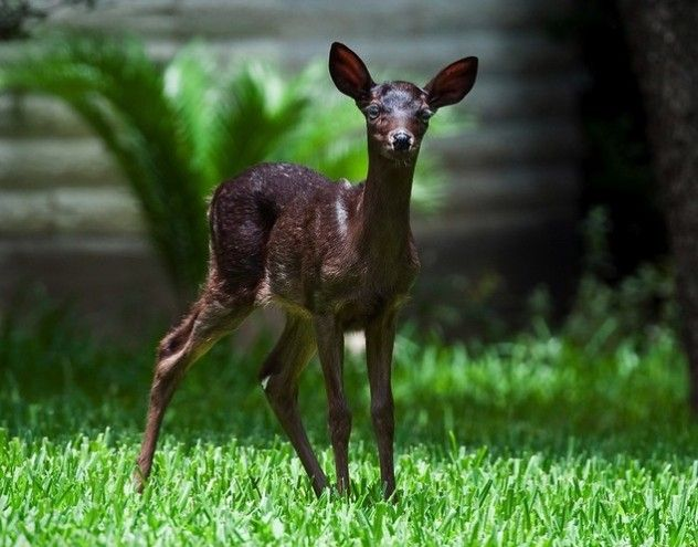 Melanistic Whitetail Deer Pin by Laurie T...
