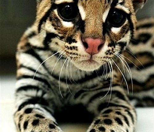 Although beautiful an Ocelot might be a little too much cat to handle...