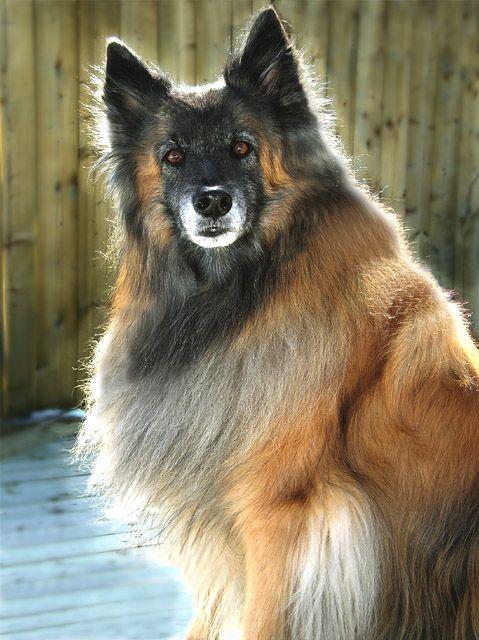 Belgian shepherd dog tervuren dogs big beautiful dogs pinterest