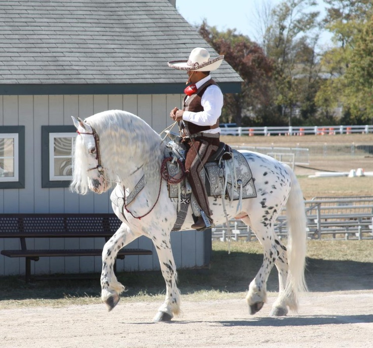 Mystic Warrior, Friesian/Appaloosa cross