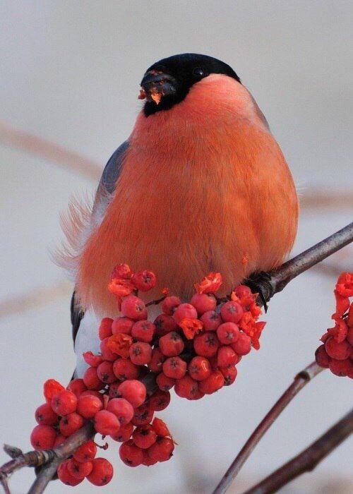Рисунки птиц воробей