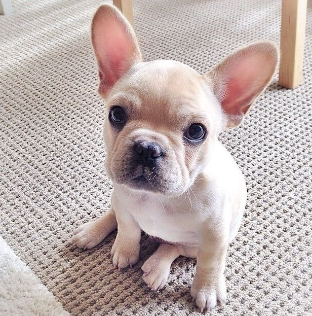 Frenchie! | Dogs | Pinterest