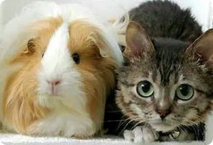 World 39 s smallest adult cat cat scratch fever pinterest - Smallest cat in the world guinness ...