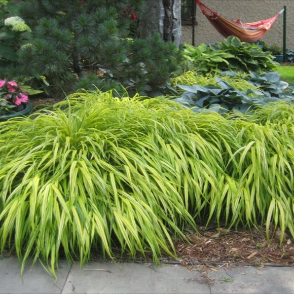 Pin by quirine gladwish on plant ideas for landscaping for Japanese mounding grass