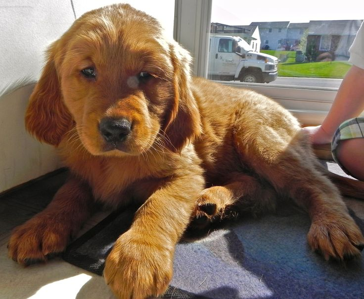 Dark red golden retriever puppies for sale in ms