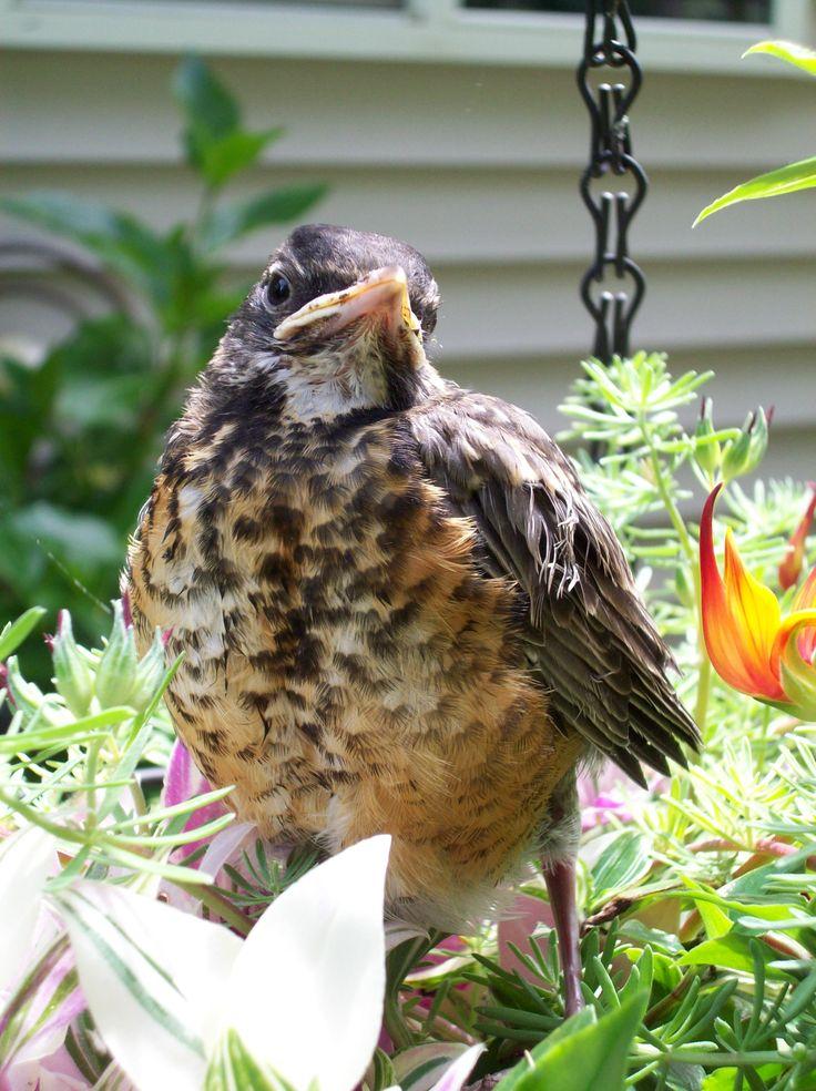 backyard bird little bubba common birds pinterest