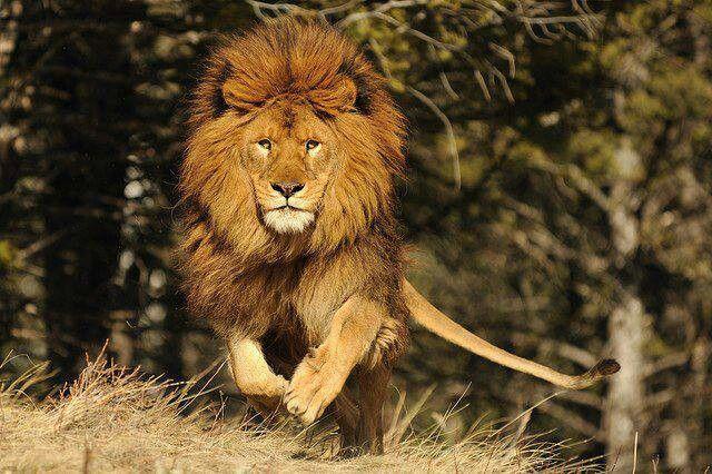 Powerful Lion Amazing Nature Pinterest