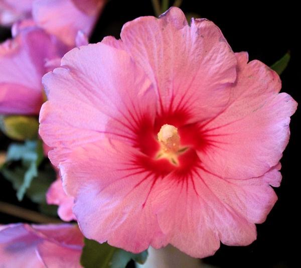 Korean Flowers Names South Korean National Flower