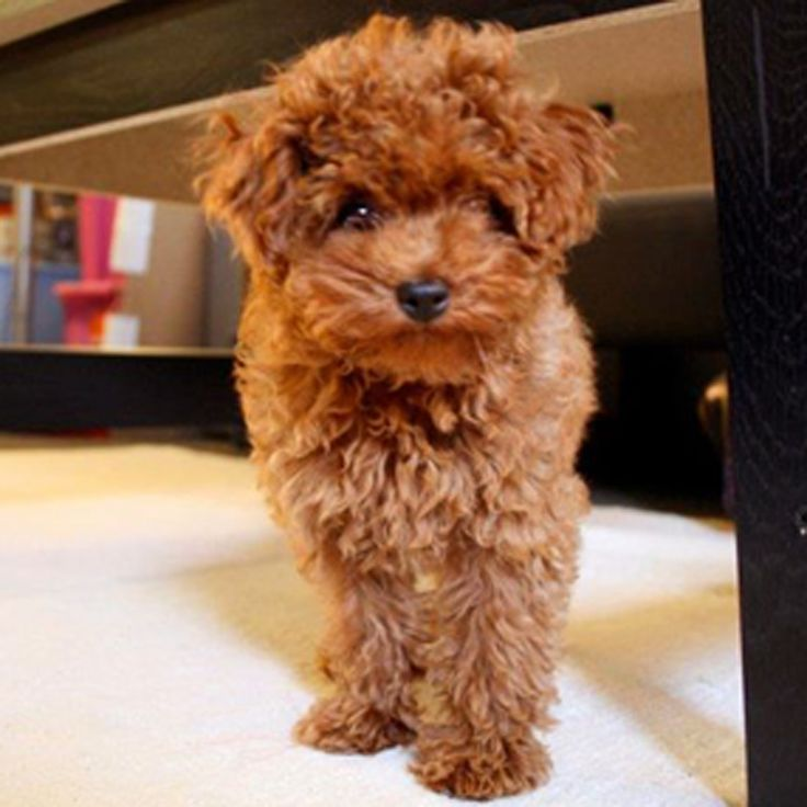 The gallery for --> Brown And Black Maltipoo