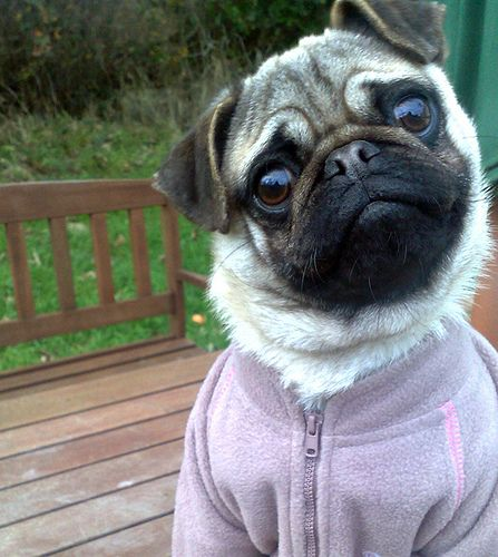 I said brrrr it's cold out here, there must be some pugs in the atmosphere!