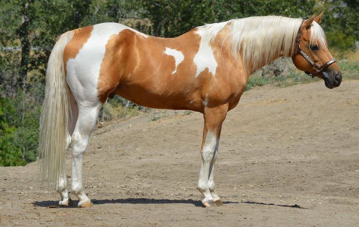 Palomino Dog Pictures
