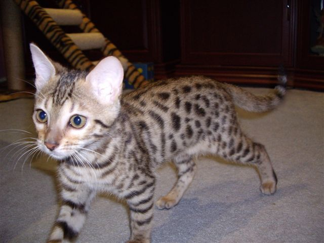 A Bengal Cats Personality bengal cat personality...