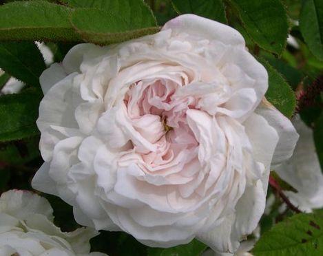 Rose Blanche Moreau