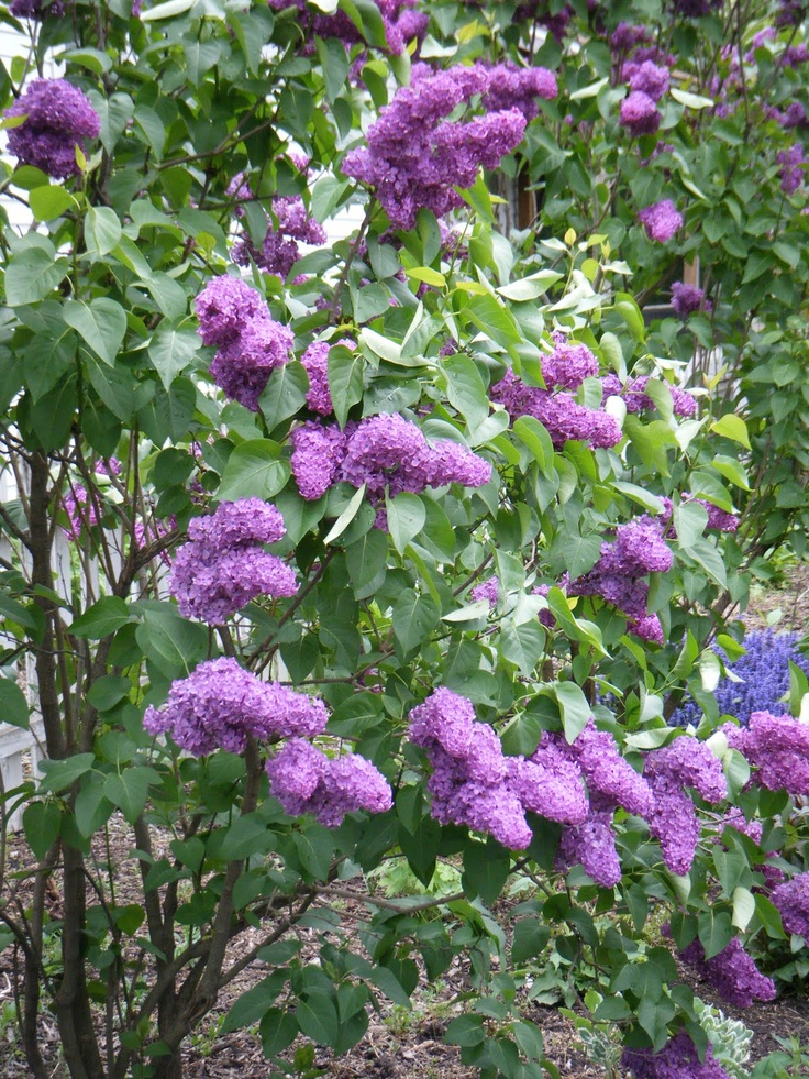 Purple Lilac Bush | Gardening | Pinterest
