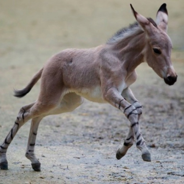 African Wild Ass foal. While domestic donkeys and burros are plentiful, the wild subspecies are critically endangered.