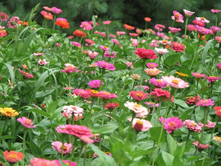 Zinnias Flowers Gardening Pinterest