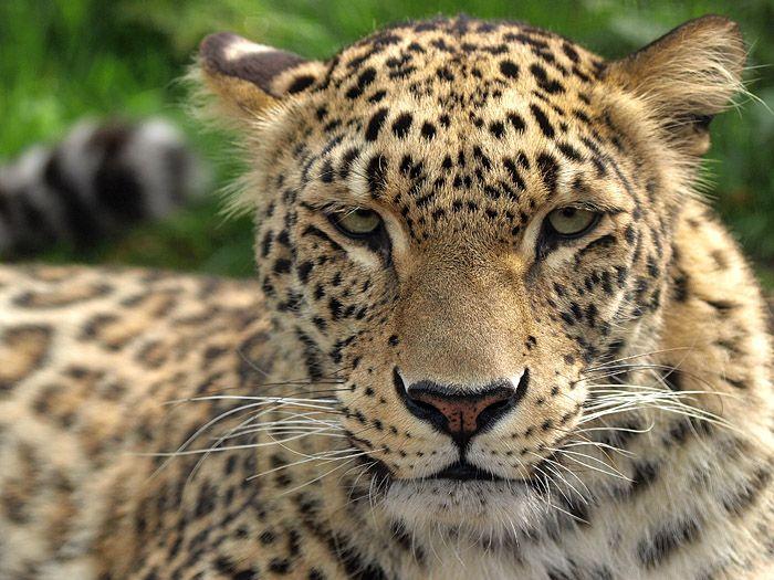 Persian Leopard | persian+leopard.jpg