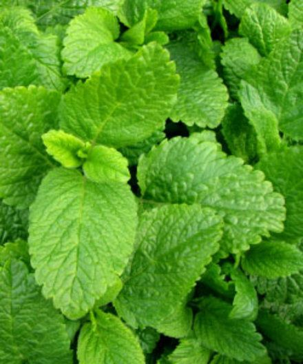 Lemon Balm - List of uses include tea,flavoring,antibacterial,helps heal cold sores,improves mood,brain function And IT SMELLS WONDERFULL