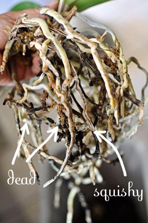 Dead Orchid Roots Orchids Pinterest