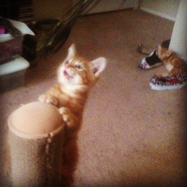 I miss my babies being this tiny! Hehe fat boy taking a nap on my shoes!  #petsofinstagram #catsofinstagram #orange #ginger #kitten I miss my babies being this tiny! Hehe fat boy taking a nap on my shoes!  #petsofinstagram #catsofinstagram #orange #ginger #kitten