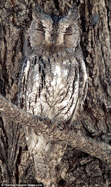 Awesome owl shows mimicry