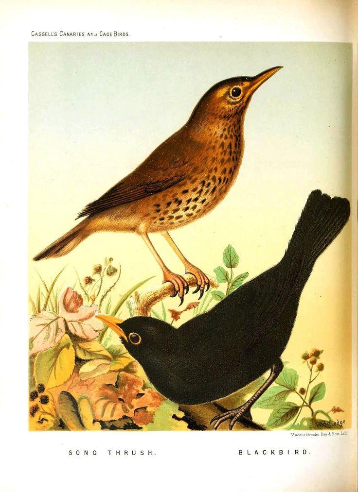 Animal-Bird-Canaries-and-cage-birds-17-Blackbird.jpg (1135×1563)