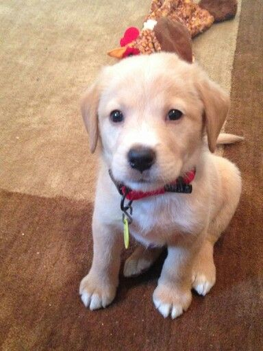 yellow lab mix puppies - photo #3