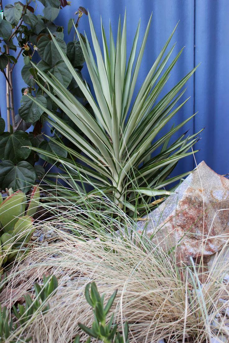 Yucca elephantipes 'Silver Star' | Garden | Pinterest