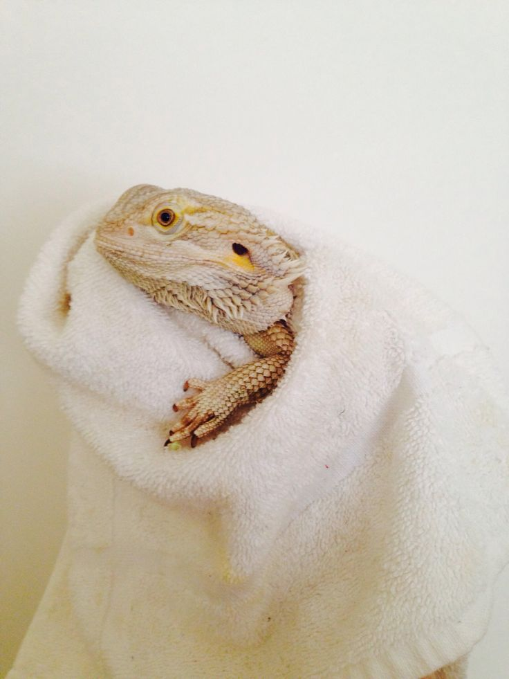 Bearded dragon | Just the Cutest... | Pinterest