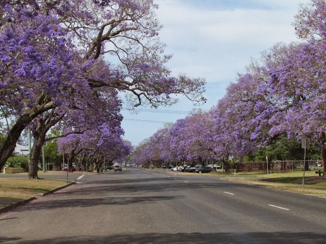 Grafton Australia  city photos gallery : Grafton Jacaranda Festival in November a blaze of purple flowers