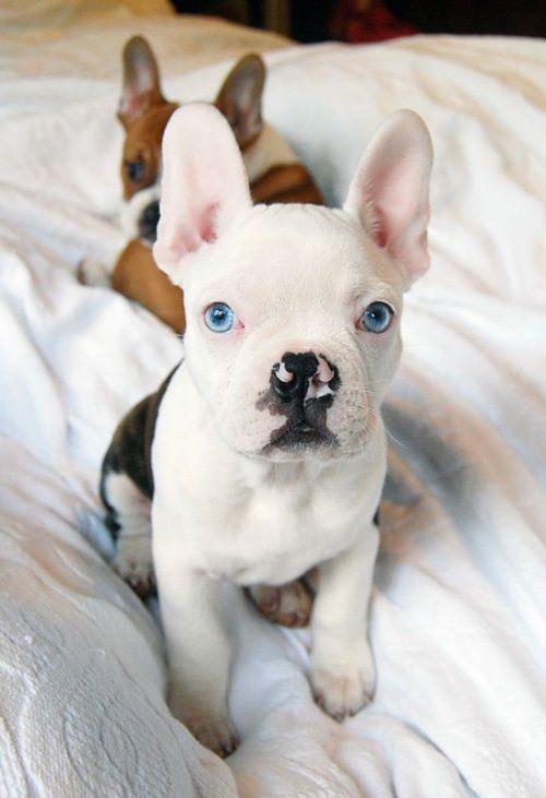 Baby white french bulldog