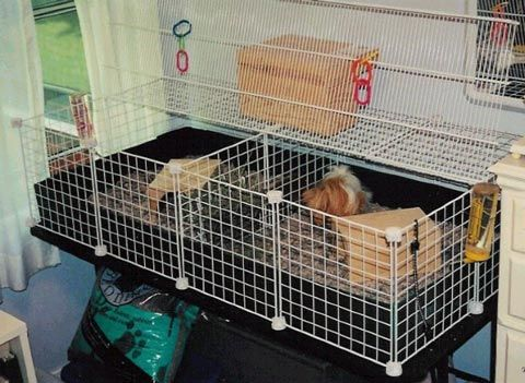 Pin by teri monday on pet stuff pinterest for Diy c c guinea pig cage