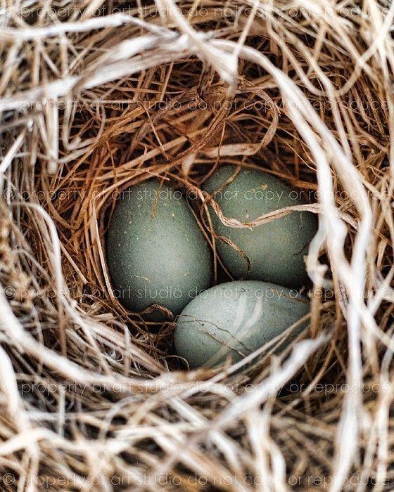 Bird's Nest and Robin's Eggs, Blue - 8x10 Art Photographic Print - Ma...