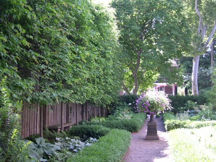 Backyard Trees For Privacy : Hornbeam trees used as privacy hedge lining the fence