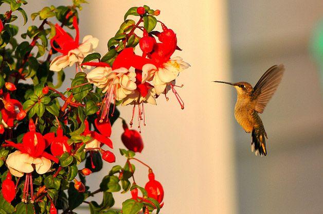 Best Hanging Basket Flowers For Hummingbirds : Pin by gypsybleu on hummingbirds