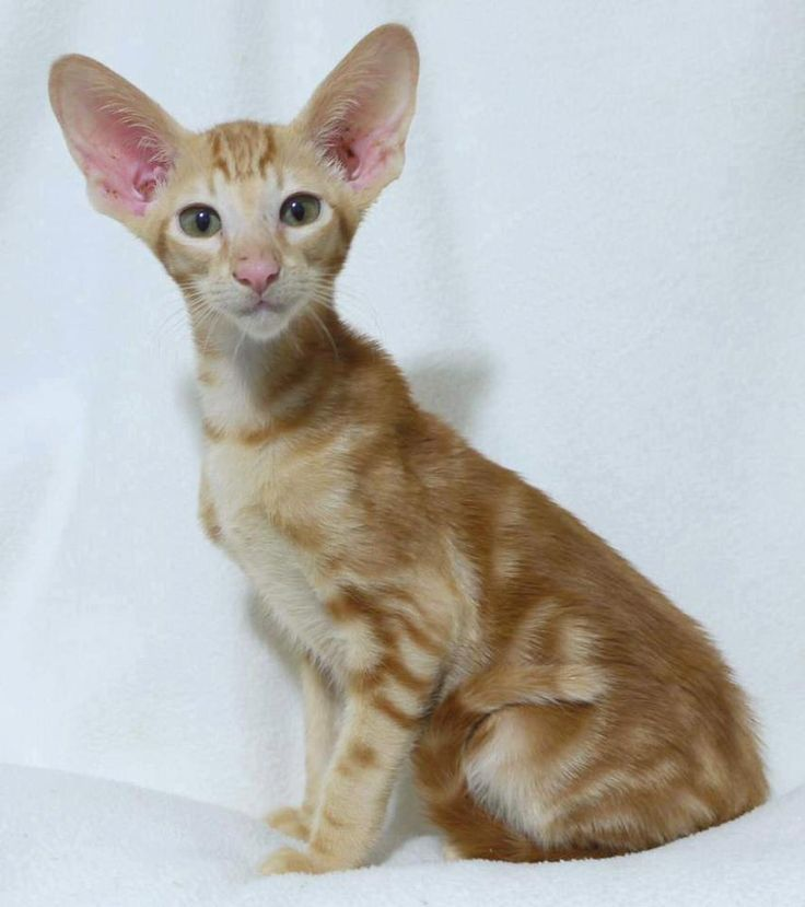 cats lilac point seal tabby silver siamese seal point flame point ...