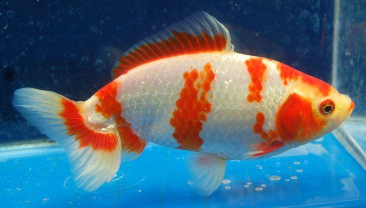 Shubunkin Goldfish from Rain Garden