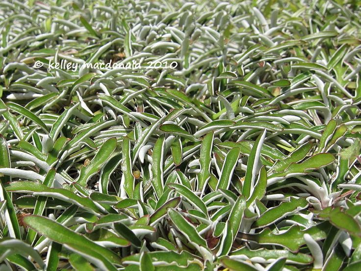 Dymondia silver carpet ground cover backyard ideas pinterest