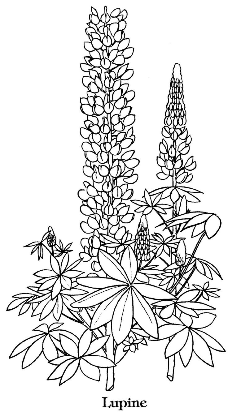 Texas Bluebon Flower Drawings Sketch Coloring Page