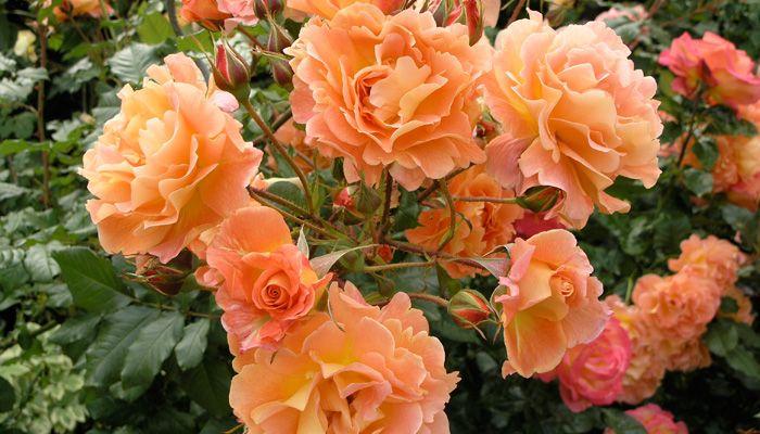 39 westerland 39 roses pinterest. Black Bedroom Furniture Sets. Home Design Ideas