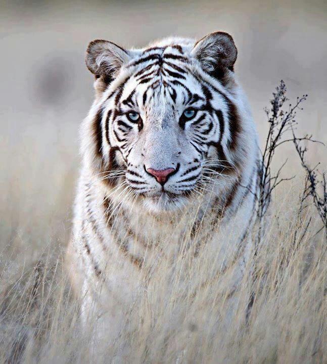 Beautiful white tiger | Beautiful Nature | Pinterest