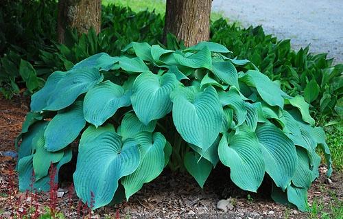 hosta blue angel garden plants pinterest. Black Bedroom Furniture Sets. Home Design Ideas