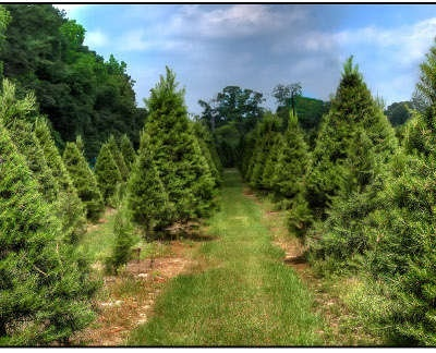 Red Caboose Christmas Tree Farm