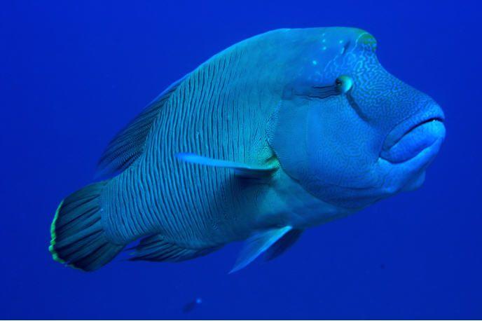 The Humphead Wrasse  aka Napoleon fishHumphead Fish