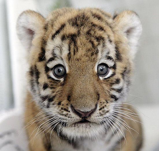 Baby siberian tiger wallpaper - photo#6