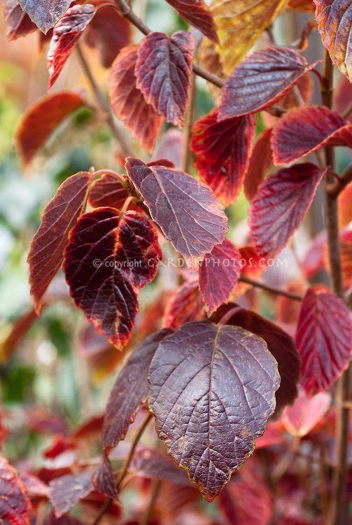Viburnum Dentatum Autumn Foliage | A Shrubs | Pinterest